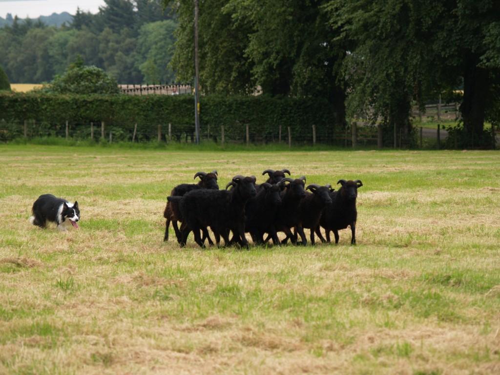 Sheep Dog Demo